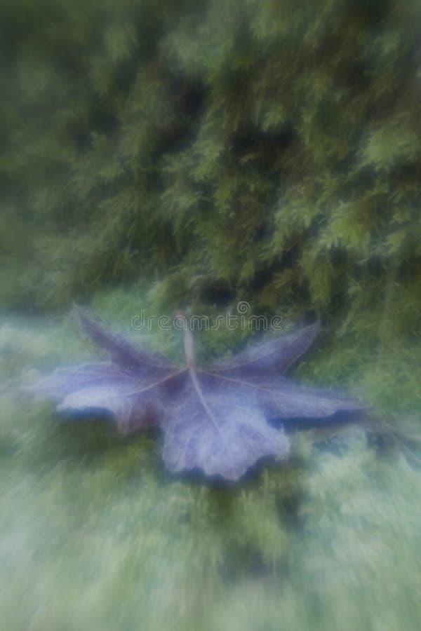 djupfryst leaflönn arkivbilder