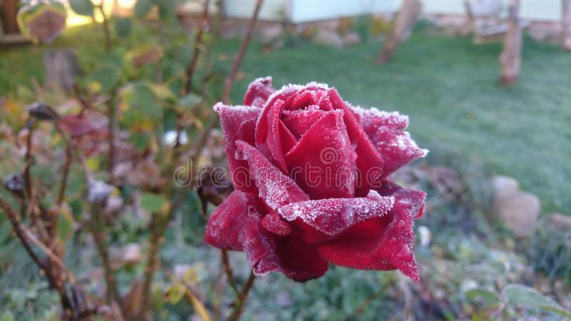 Djupfryst röd ros i trädgård av Litauen Eller steg med frostigt på hennes blomningsidor arkivbild