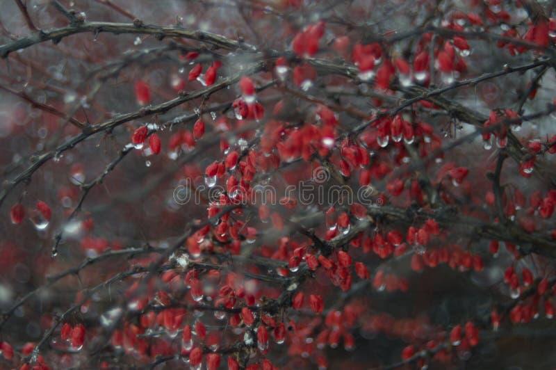 Djupfryst röda bär royaltyfri bild