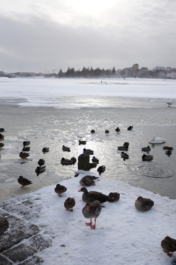 Djupfryst sjö med att simma för änder royaltyfri bild