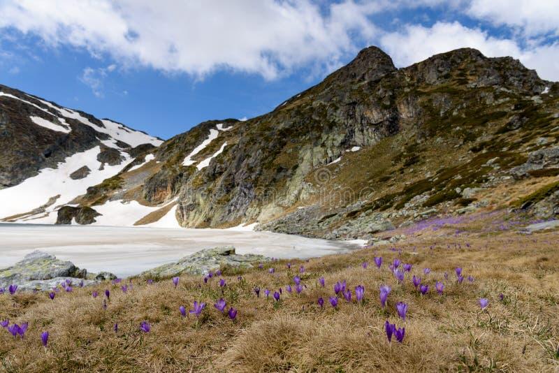 Djupfryst sjö och purpurfärgade krokusar i förgrund arkivbilder