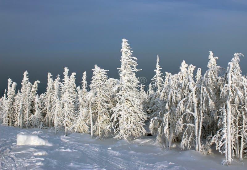 Djupfryst skog i solljus royaltyfria bilder