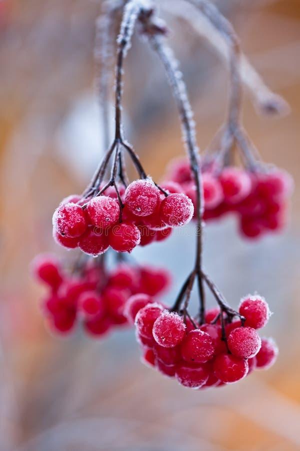 Djupfryst tranbär. Närbild royaltyfri foto