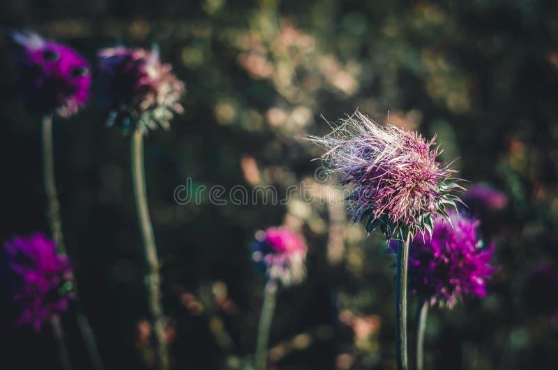 Djupfryst vind i blomman av en tistelCarduus Sommarsoluppgång i en knopp av lösa blommor Stranda av h?r v?nder mot in royaltyfria foton