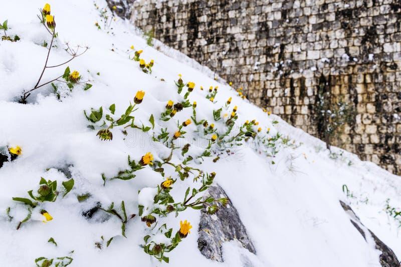 Djupfrysta blommor under snön på suddig bakgrund Djupfryst floret royaltyfria foton