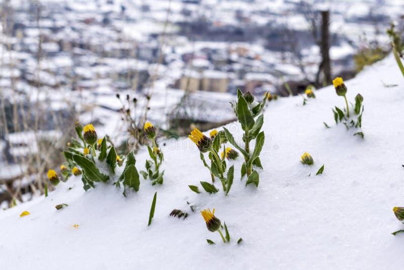 Djupfrysta blommor under snön på suddig bakgrund Djupfryst floret royaltyfri foto
