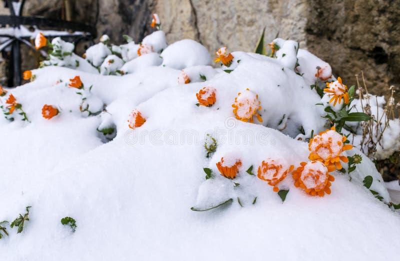 Djupfrysta blommor under snön på suddig bakgrund Djupfryst floret arkivbilder