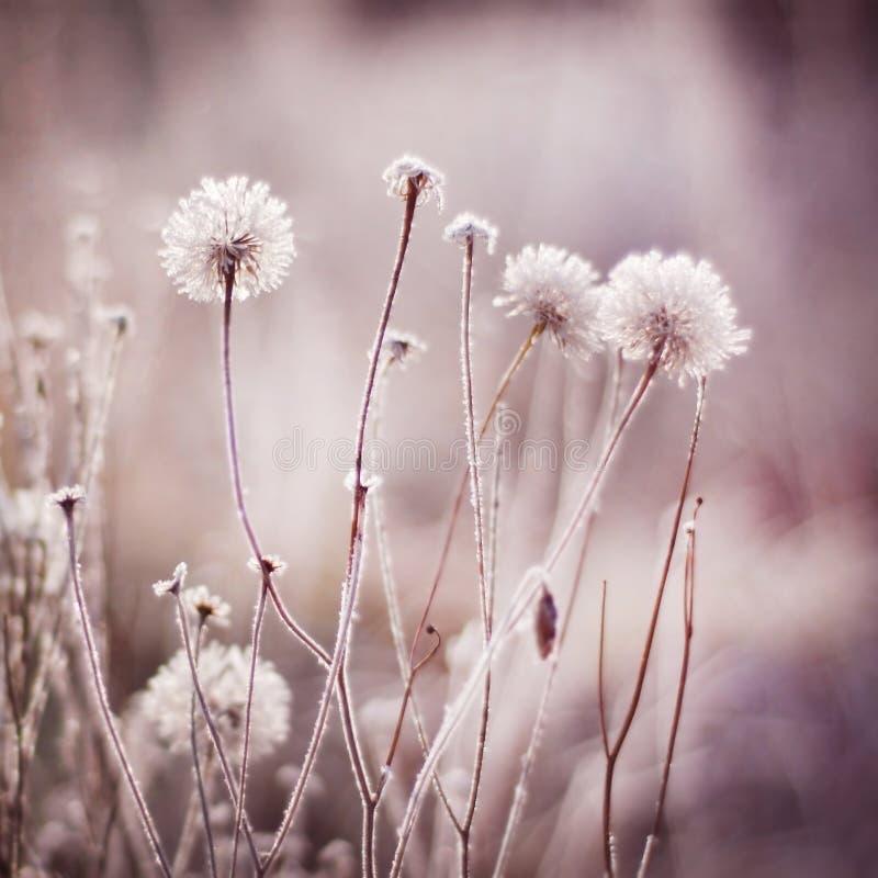 Djupfrysta blommor, växter frostig vinter för morgonnatursnowfall arkivbild