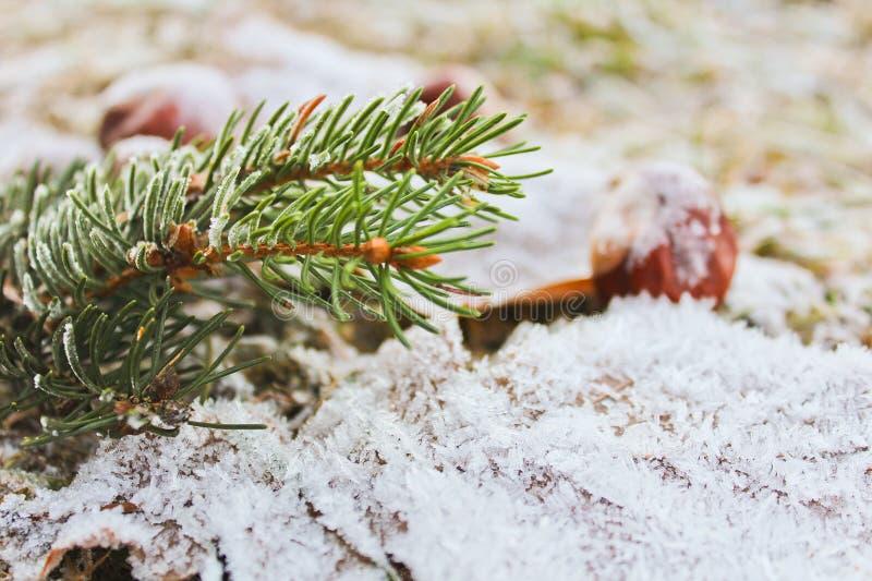 Djupfrysta sidor, kastanj, barrträds- filial, slut upp fotoet fotografering för bildbyråer