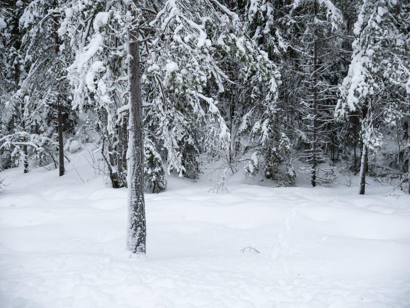 Djupfrysta träd i den kalla skogvintern snöar arkivbilder
