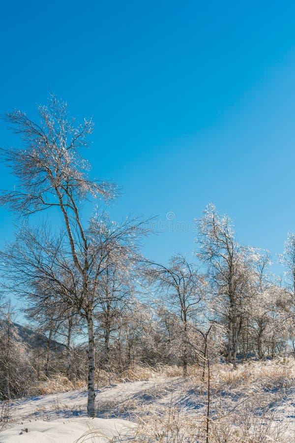 Djupfrysta träd i vinter med blå himmel royaltyfri fotografi