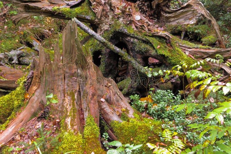 Djupt landskap för trän för busksnår för höstskogvildmark med den stora trädmossastubben och champinjoner arkivbilder