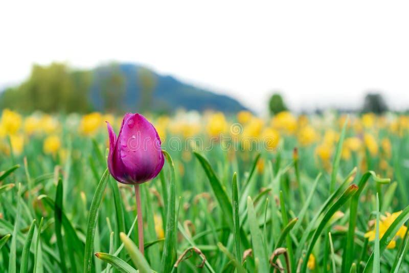 Djupt - purpurfärgad rosa tulpan som växer i ett blommafält på en lantgård Ljust - gröna högväxta stammar och gula tulpan i bakgr arkivfoto