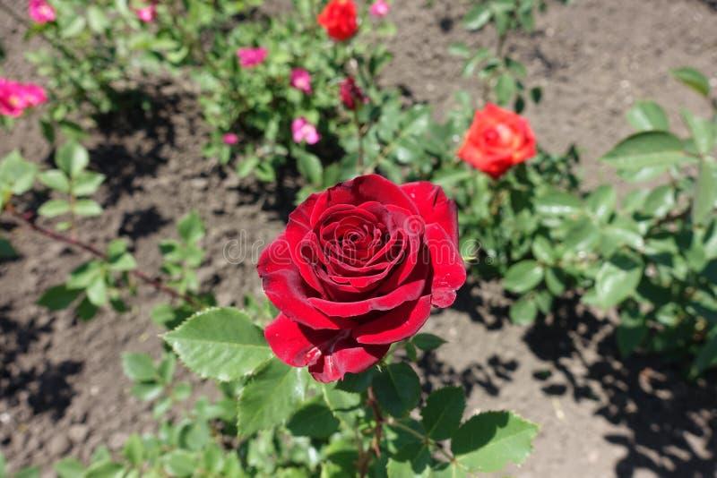 Djupt - röd blomma av rosen i Maj fotografering för bildbyråer
