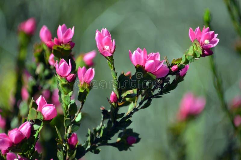 Djupt - rosa blommor av den australiska infödingen steg, den Boronia serrulataen royaltyfri foto