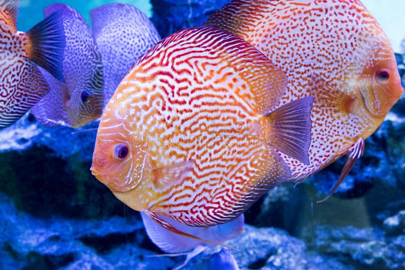 Djur exotisk färg Diskus för exotiskt fiskakvarium arkivbild