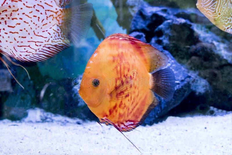 Djur exotisk färg Diskus för exotiskt fiskakvarium fotografering för bildbyråer