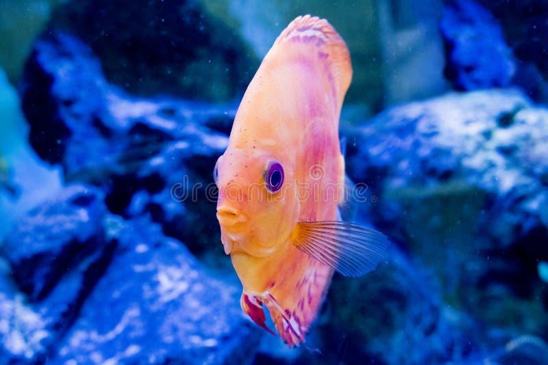Djur exotisk färg Diskus för exotiskt fiskakvarium royaltyfria foton