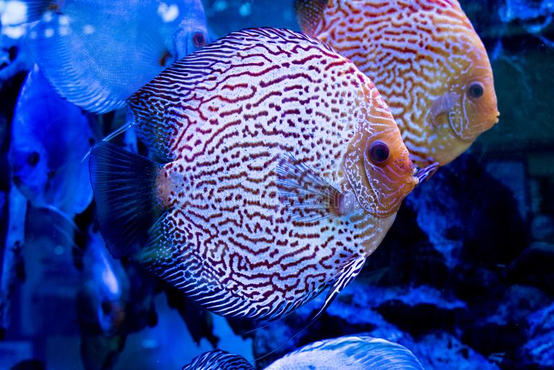 Djur exotisk färg Diskus för exotiskt fiskakvarium arkivfoton