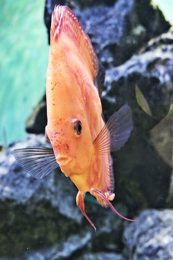 Djur exotisk färg Diskus för exotiskt fiskakvarium royaltyfri bild