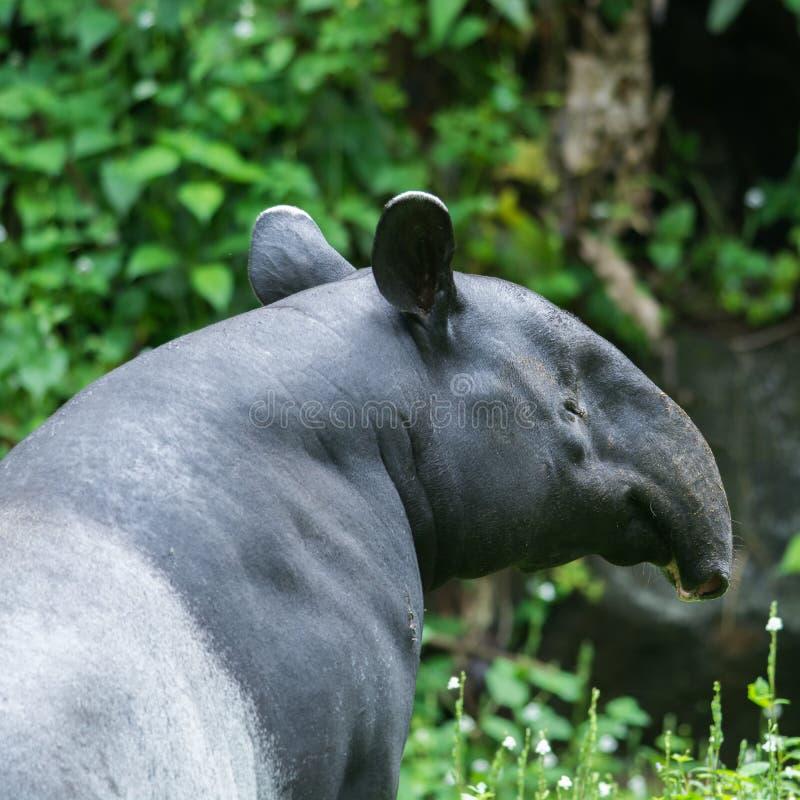 Djur för huvud för tapircloseupshow i zoo arkivbild
