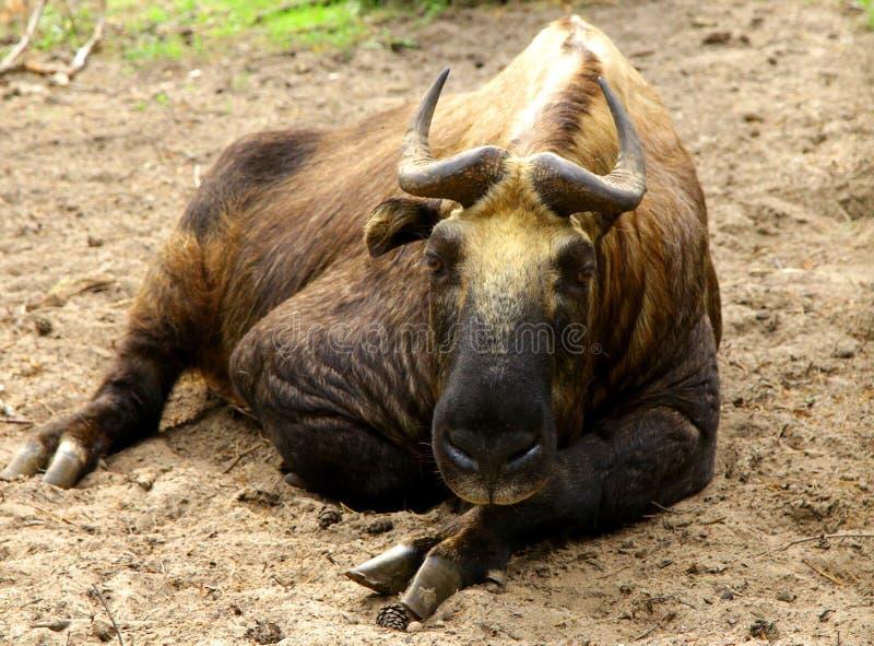 Djur för taxicolor för Mishmi TakinBudorcas löst royaltyfri bild