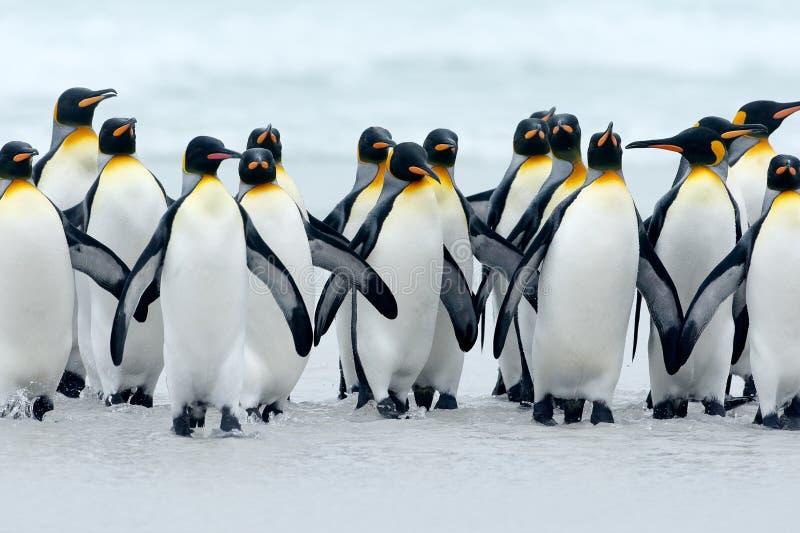 Djur från Antarktis Grupp av konungpingvin som tillbaka tillsammans kommer från havet att sätta på land med vågen en blå himmel,  arkivbild