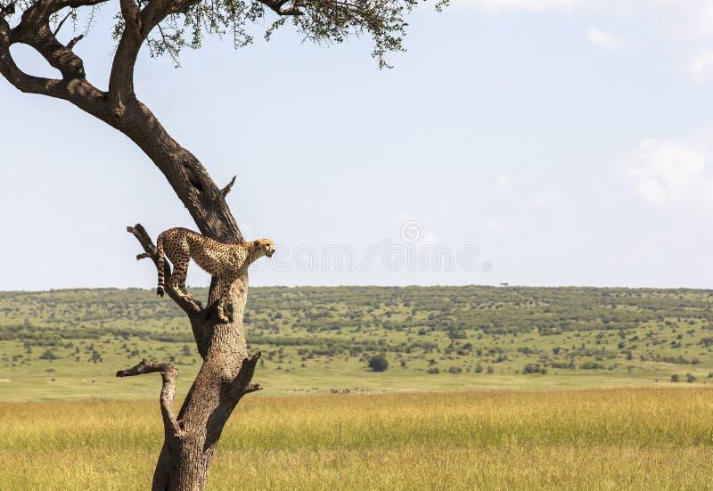 Djur i Maasai Mara, Kenya royaltyfri fotografi