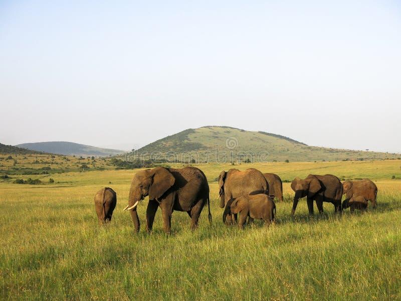 Djur i Maasai Mara, Kenya arkivfoton