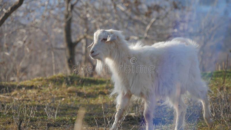 Djur i zoo, getter fotografering för bildbyråer