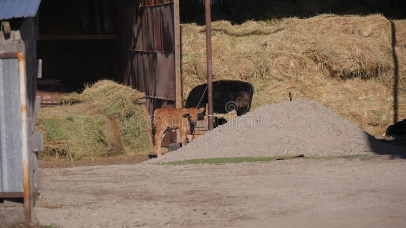 Djur i zoo, kalv arkivfoton