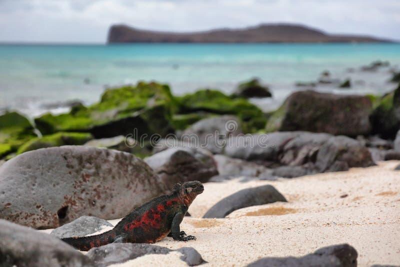 Djur - jul Marine Iguanas på den Espanola ön på Galapagos öar royaltyfri foto