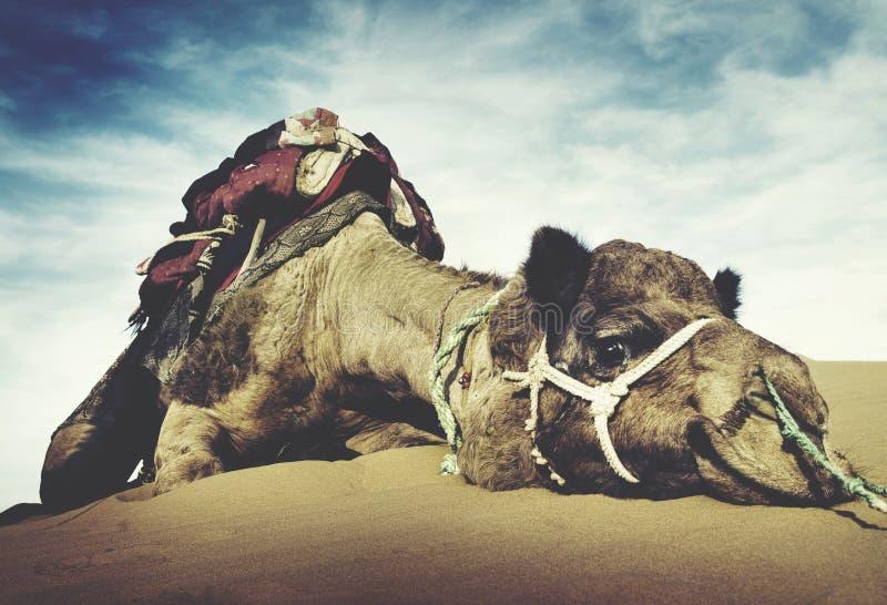 Djur kamelöken som vilar stillsamt ensamhetbegrepp arkivbild
