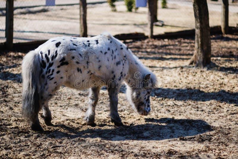 Djur rid- ryttaresport för häst, handling royaltyfria foton