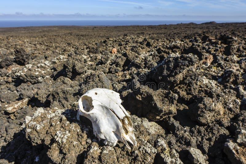 Djur skalle i fientligt vulkaniskt lavalandskap, Timanfaya nationalpark, Lanzarote, kanariefågelöar, Spanien royaltyfri foto