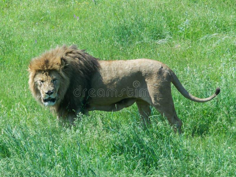djur som det är den täta lionen, gjorde parkbildsafari till mycket arkivbilder