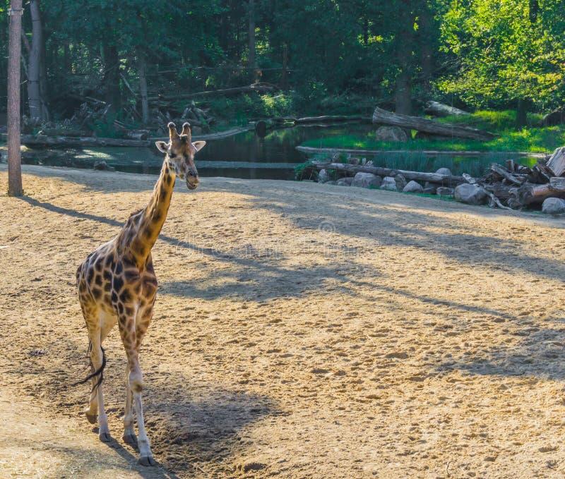 Djur stående för härligt savannahdjurliv av en afrikansk giraff, i att gå rörelse i sanden med skogbakgrund royaltyfria bilder