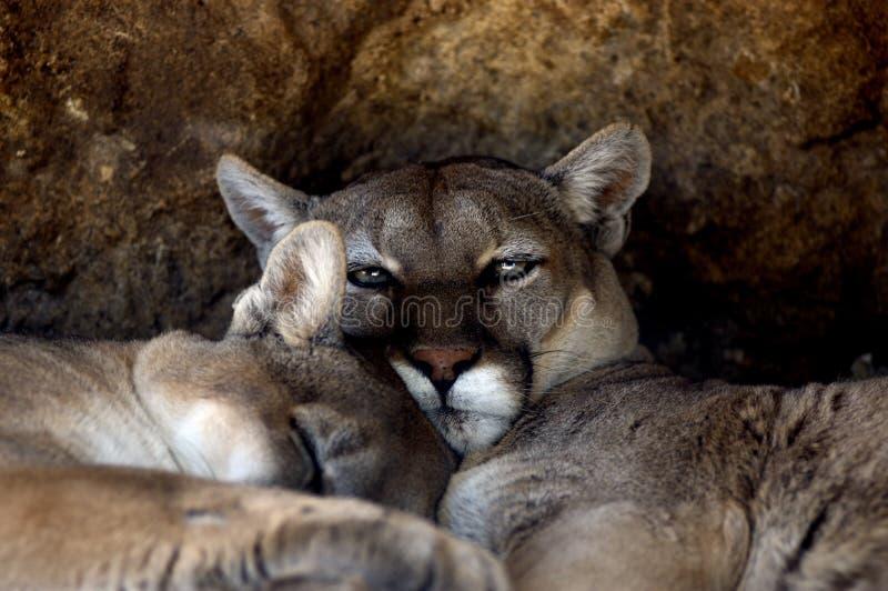 djur stayleyanan concolorpumapuma arkivbild