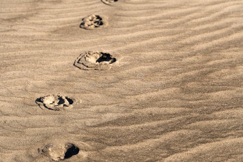 Djura fotspår för Sepiasignal på texturerad sand från den Florida stranden royaltyfria bilder