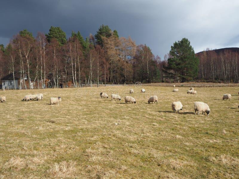 djura sheeps arkivbilder