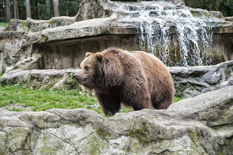Djurens r?ttigheter Gullig bakgrund f?r Big Bear stenig landskapnatur Zoobegrepp Djur p? solnedg?ngen Vuxen brunbjörn in royaltyfria foton