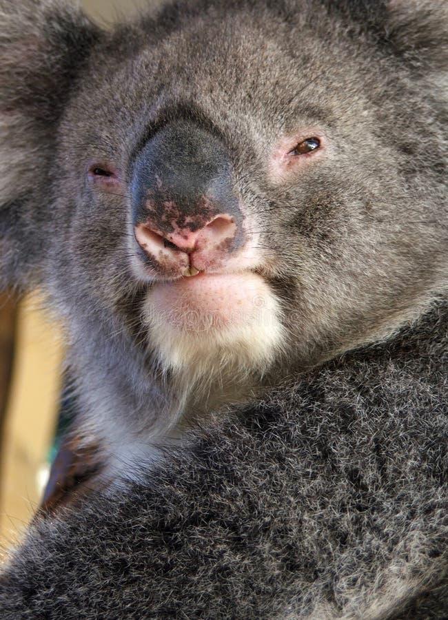 Download Djurkoala arkivfoto. Bild av koala, victorian, natur, turism - 225094