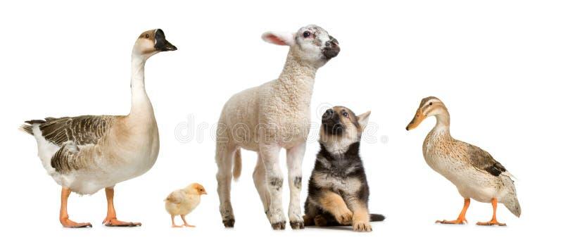 djurlantgård arkivbilder