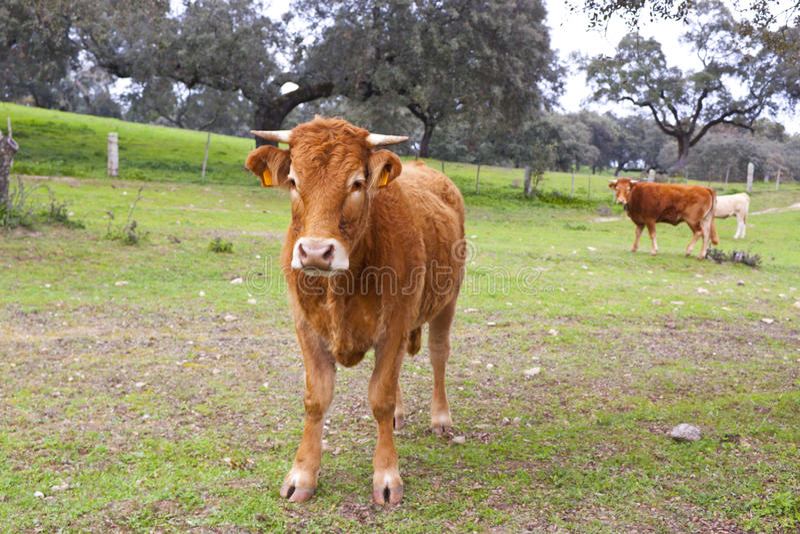 djurlantgårdliggande sommar för många sheeeps royaltyfria bilder