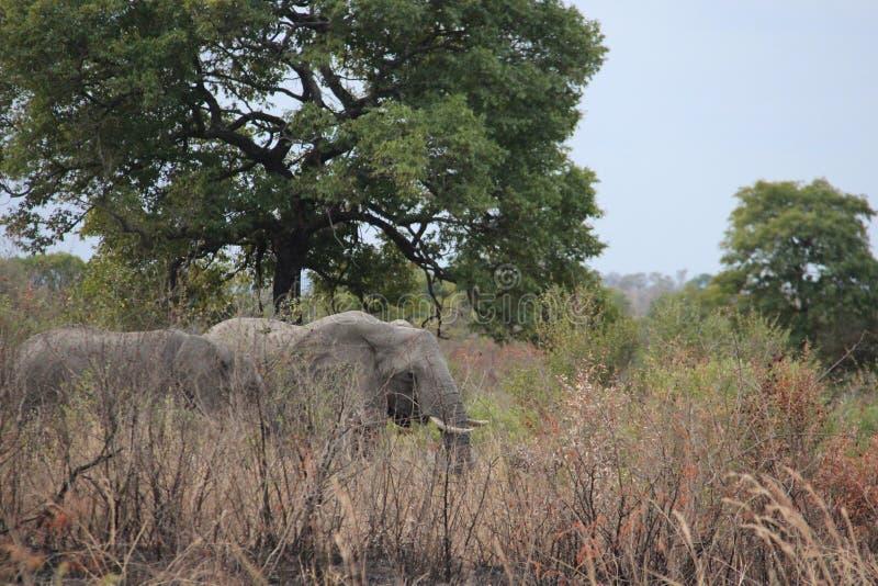 djurliv Afrikanska lösa elefanter för långt bete arkivfoton