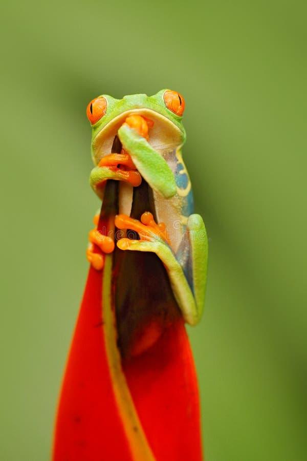 Djurliv Costa Rica Härlig groda i skogen, exotiskt djur från Central America, röd blomma Rödögd trädgroda, Agalychnis appell royaltyfria bilder