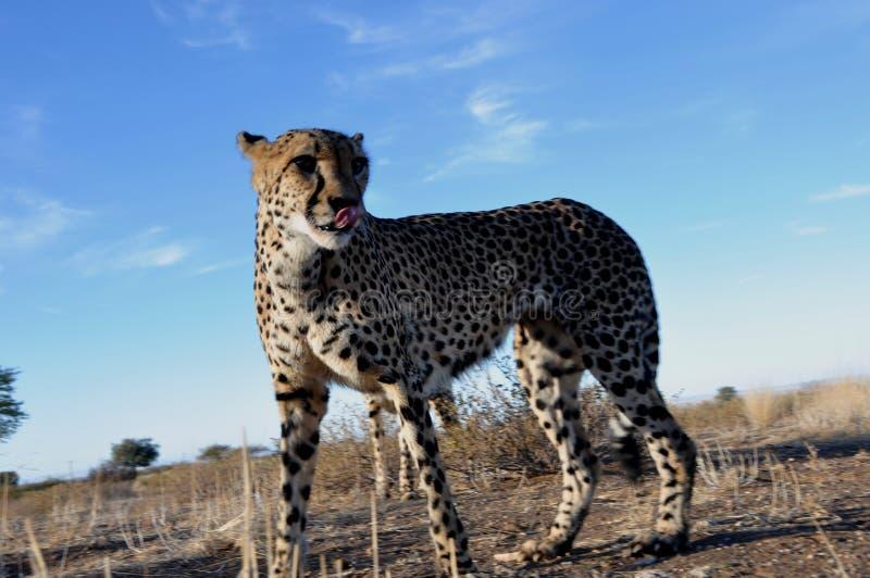Djurliv för Namibia ` s: En jeetha i den namibian Kalaharien royaltyfria bilder