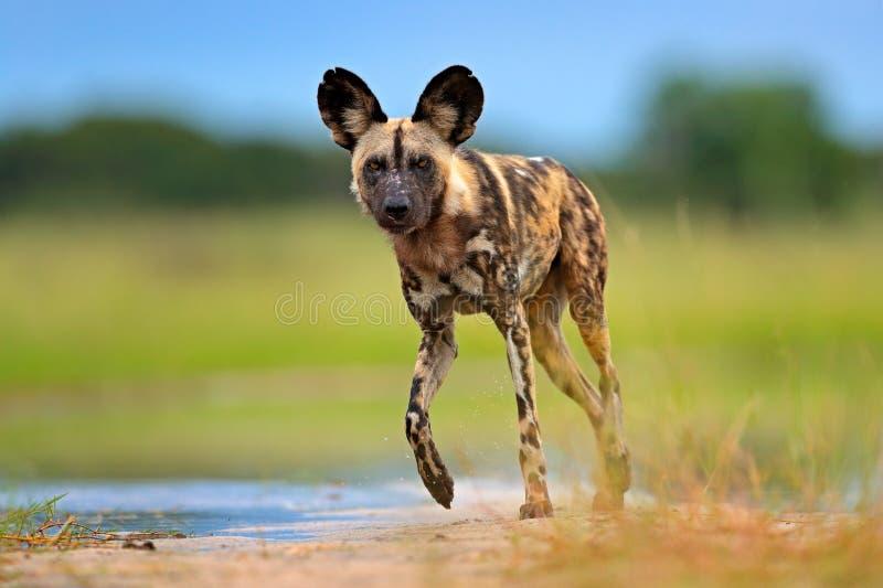 Djurliv från den Okavango deltan, Botswana, Afrika Afrikansk lös hund som går i vattnet på vägen Jaga den målade hunden med stort fotografering för bildbyråer