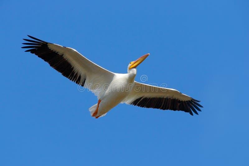 Djurliv från Florida kustfågel i fluga med blå himmel Vit pelikan, Pelecanuserythrorhynchos, från Florida, USA Rysk natur, vildma arkivfoton