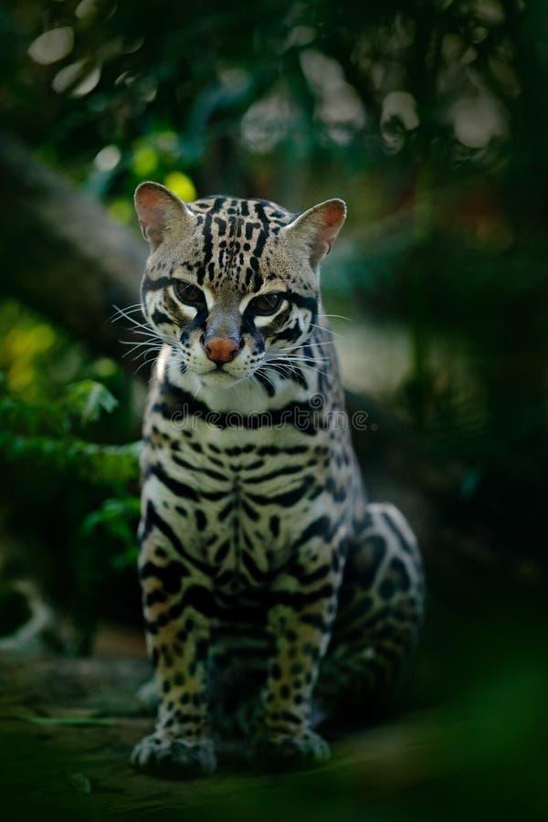 Djurliv i Panama Margay sammanträde för trevlig katt på jordningen i tropisk skogdetaljstående av ozeloten, Leopardus pardalis Ka royaltyfri fotografi